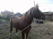 продам коня, 4 года 900 кг