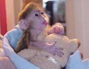 Симпатичные очаровательны обезьяна капуцин Женский для принятия.