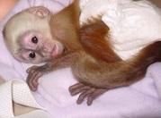 милые обезьяна капуцин.