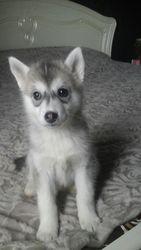 Продам милого щенка хаски